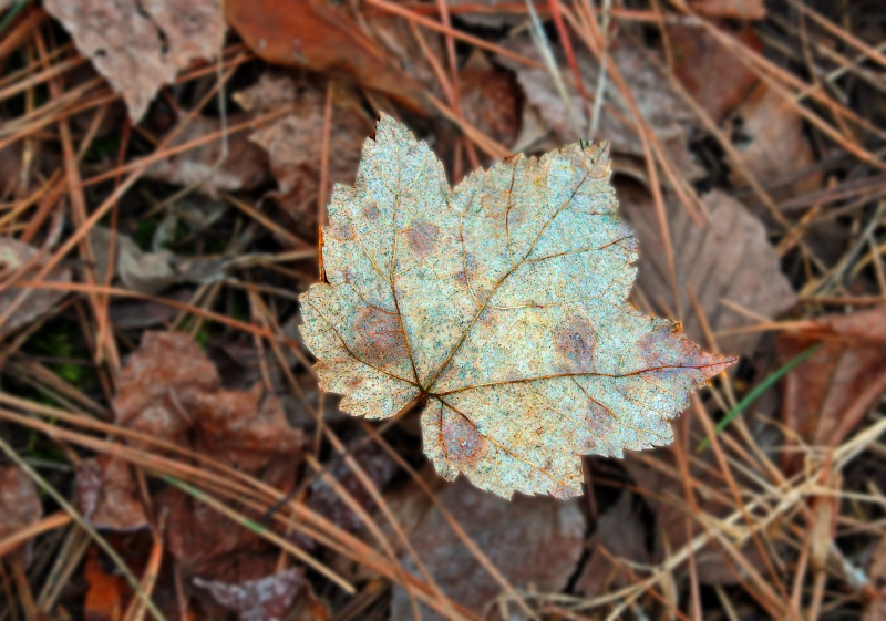 Macro nature photography of a pastel colored fall leaf.