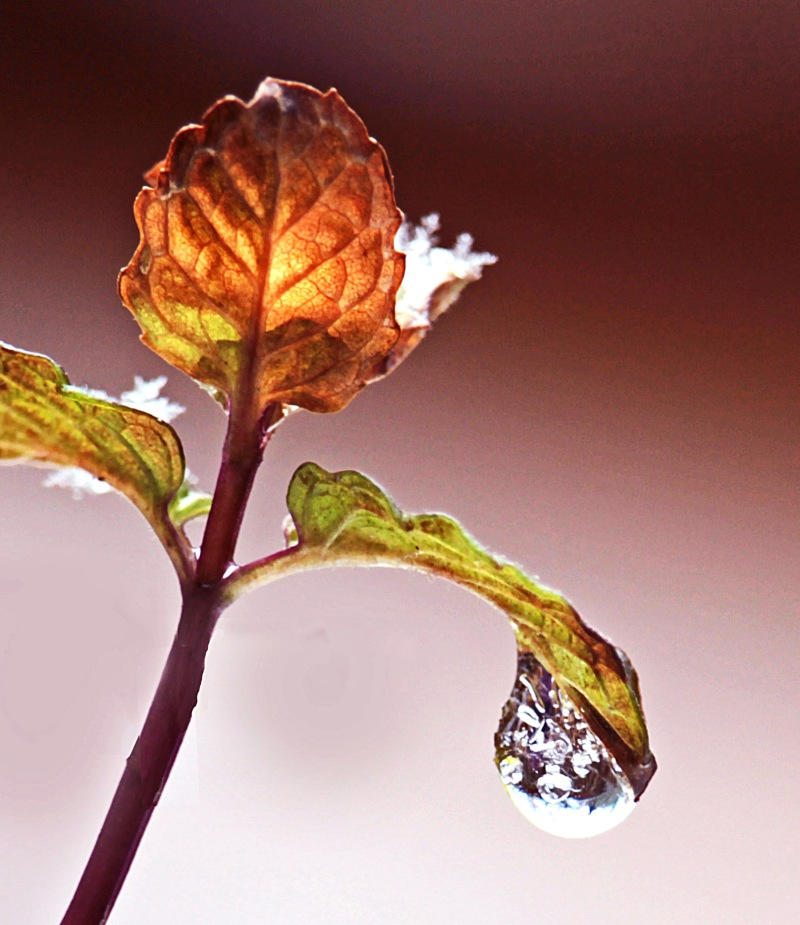 Macro nature photography of a leaf, snow, and a frozen dew drop.
