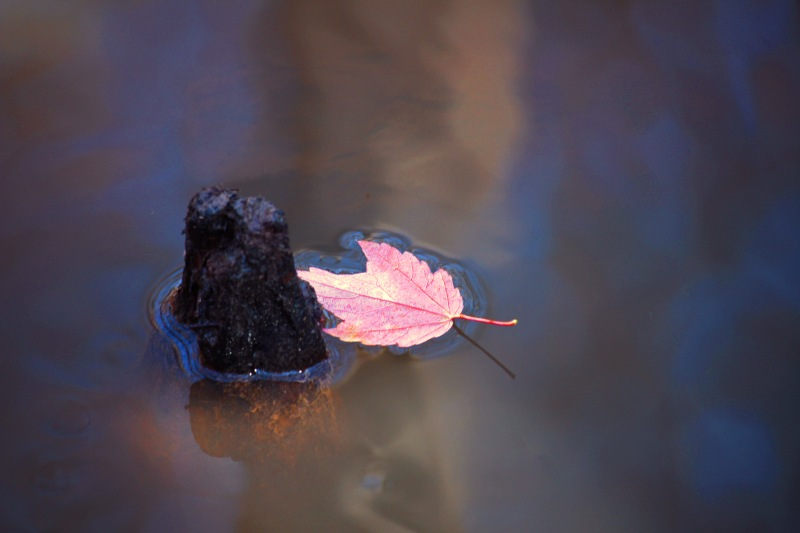 Nature photography of a red leaf floating in a pond.