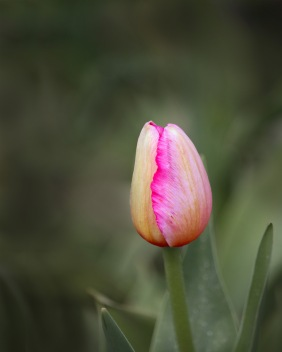 Floral photography of a pink tulip bud.