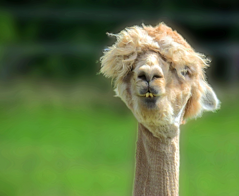 Nature photography of the face of an alpaca.