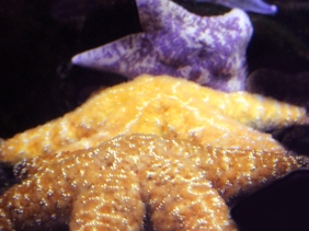 Underwater photography of colorful starfish.