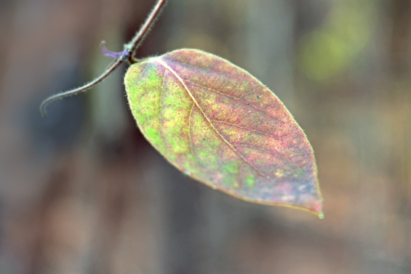 Macro nature photography of a pastel colored leaf.
