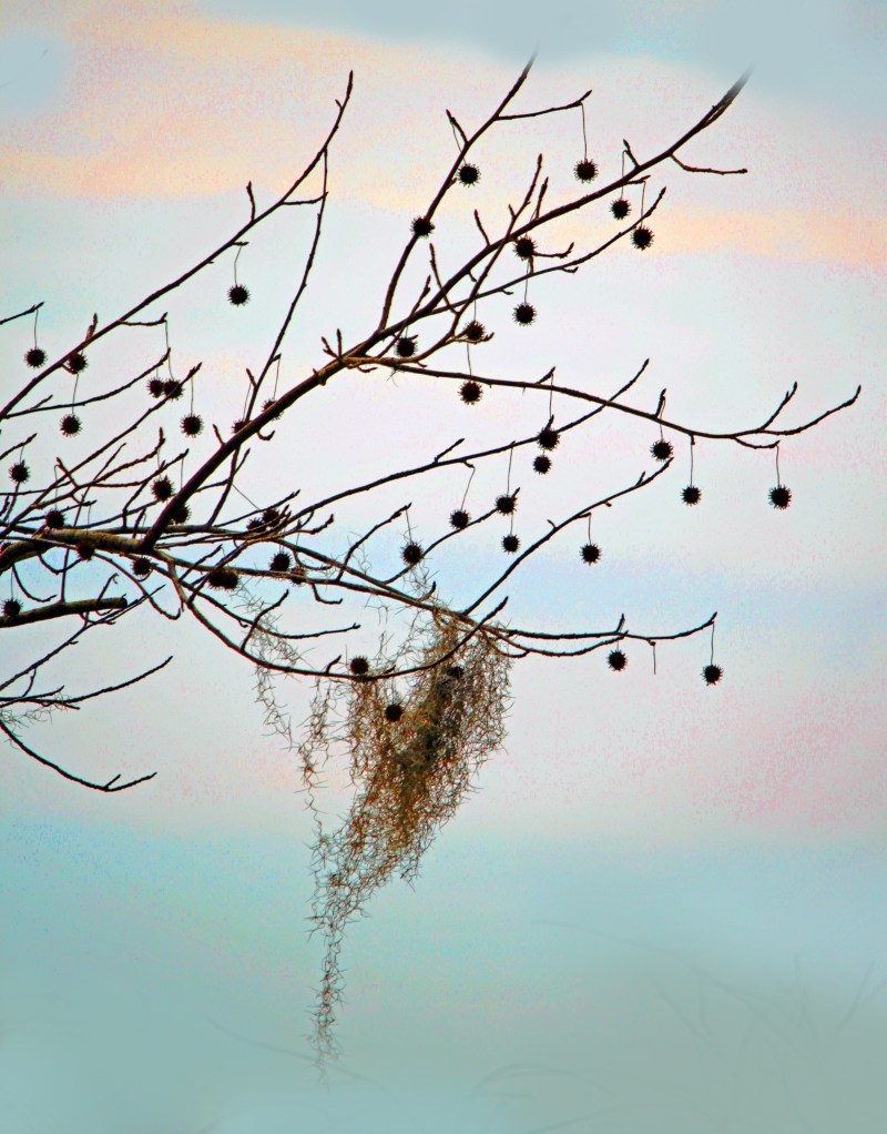 Nature photography of Spanish moss hanging from a branch.