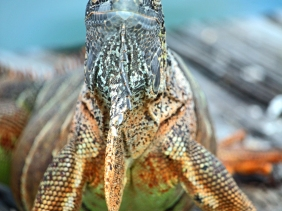 Nature photography of a Blue Iguana from Grand Cayman Island.