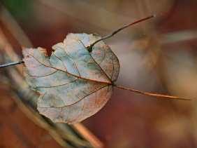 Nature photography of a brown leaf pierced by a twig.