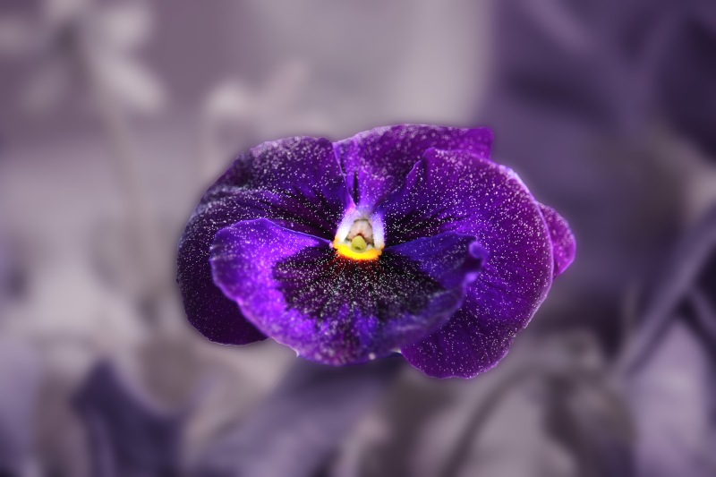 Macro nature photography of a purple pansy dusted with pollen.