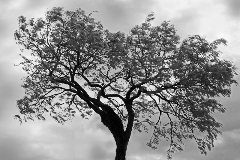 Black and white nature photography of a tree gently swaying in the breeze.