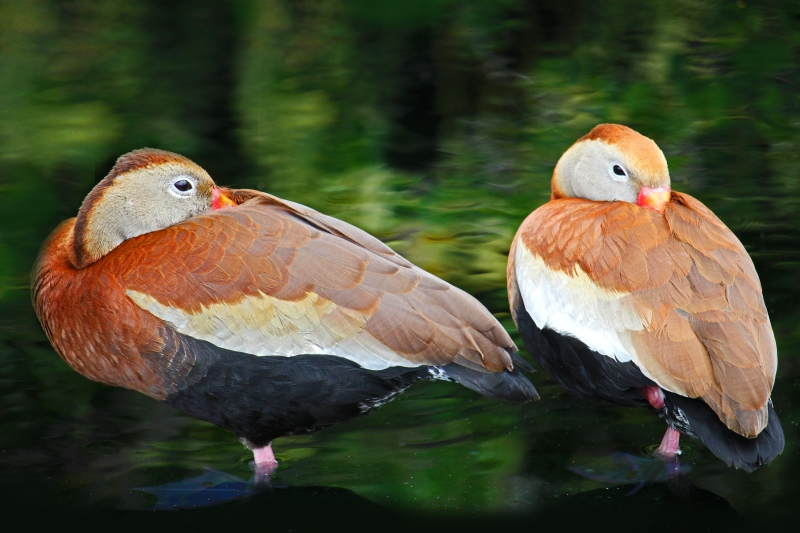 Nature wildlife photography of black-bellied whistling ducks.