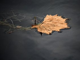 Nature photography of a brown leaf floating in dark water.
