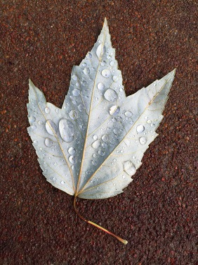 Macro nature photography of water droplets on a silver leaf.