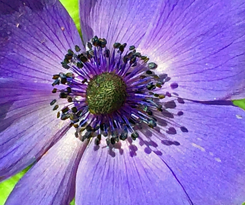 Macro floral photography of a purple flower.
