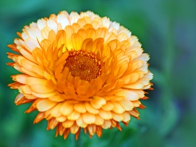 Macro floral photography of an orage mum.