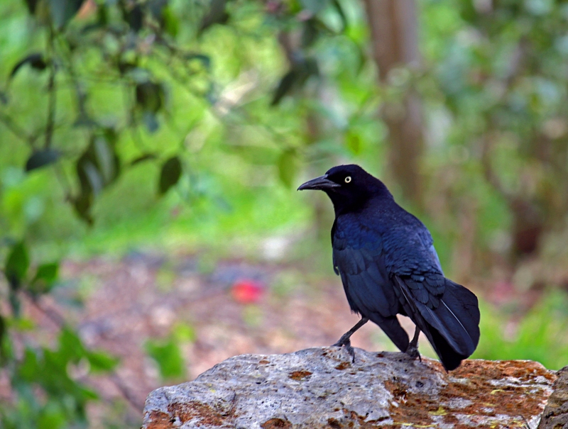 Nature photography of a crow.