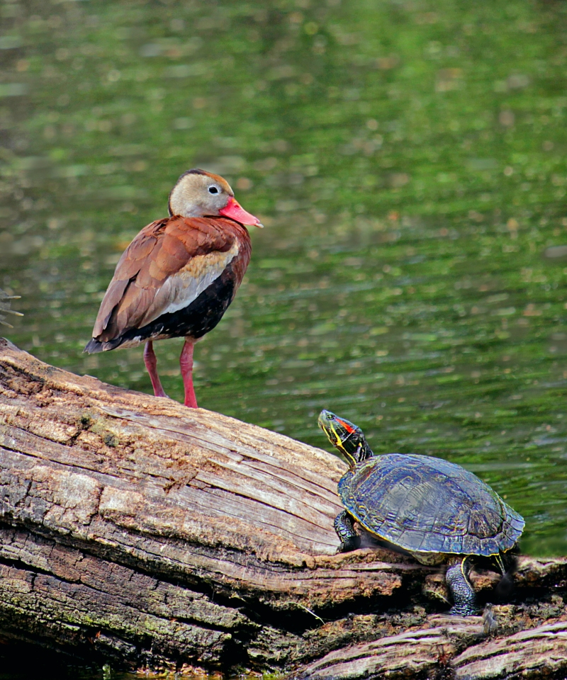Nature photography of a duck and a turtle standing on a log.
