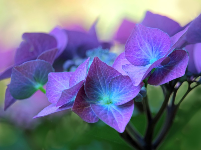 Macro floral photography of  purple hydrangea petals.