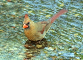 Natural photography of a female cardinal taking a bath in a creek.