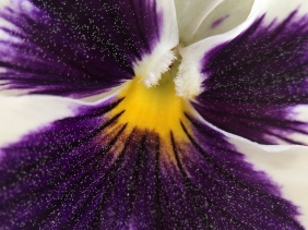 Macro floral photography of a purple and white pansy.