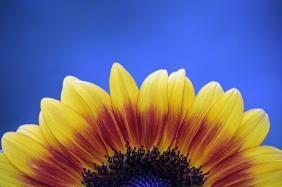 Half of a sunflower against a blue sky.