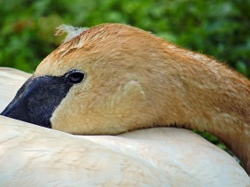 Nature wildlife photography of a resting swan.