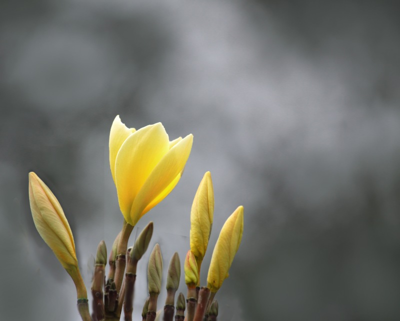 Floral photography of yellow tulips.