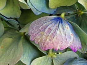 Macro floral photography of a hydrangea petal.