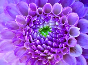 Macro floral photography of a purple dahlia.