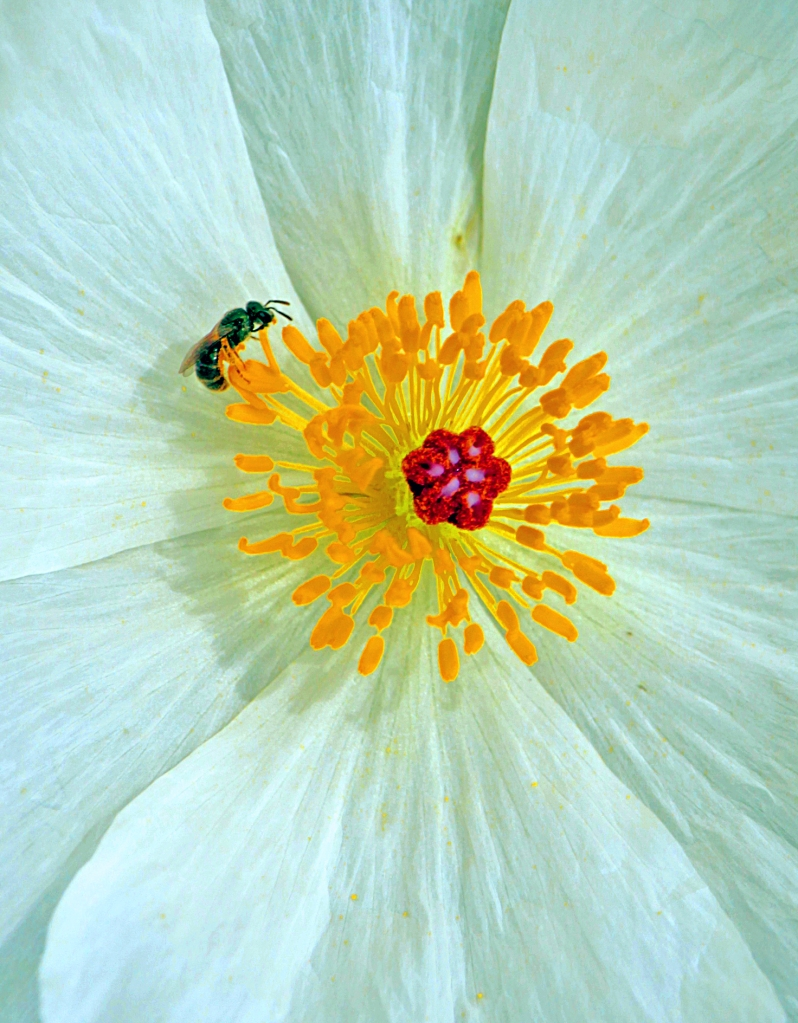 Macro nature floral photography of a bee inside a flower.