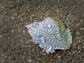 Macro nature photography of dew drops on a silver fall leaf.