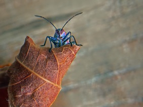 Macro nature photography of a bug on a brown leaf.