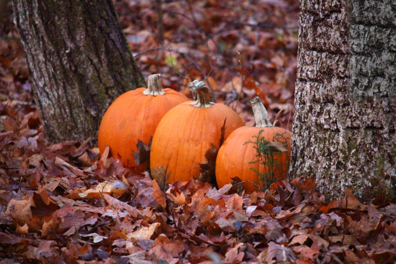 Nature photography of three pumpkins surrounded by fall leaves.