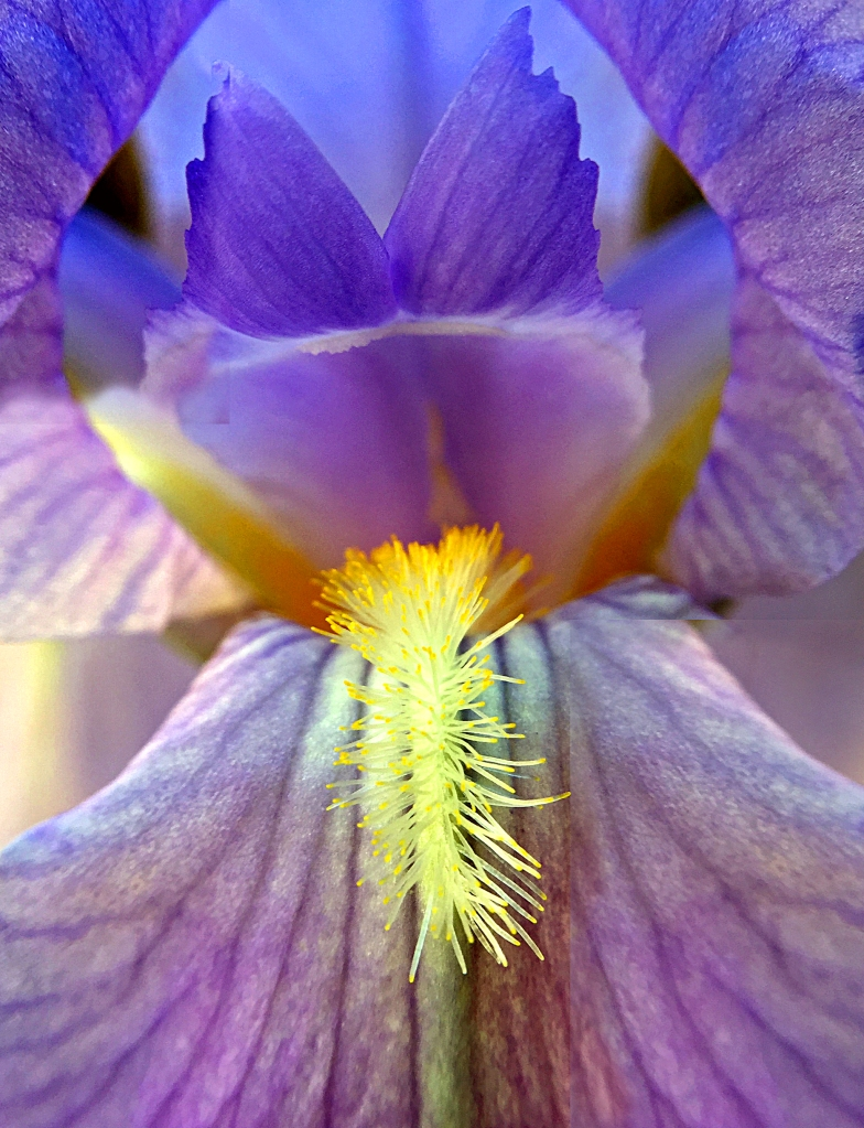 Macro floral photography of an iris.