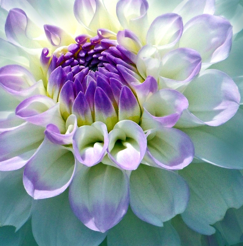 Macro nature photography of a purple and white dahlia.