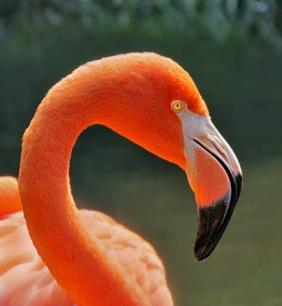 Wildlife photography of a flamingo.
