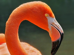 Wildlife photography of a flamingo.