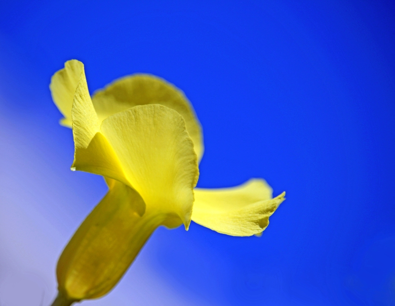 Floral photography of a yellow flower against a blue sky.