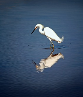Nature photography of a snowy egret and its reflection in water.