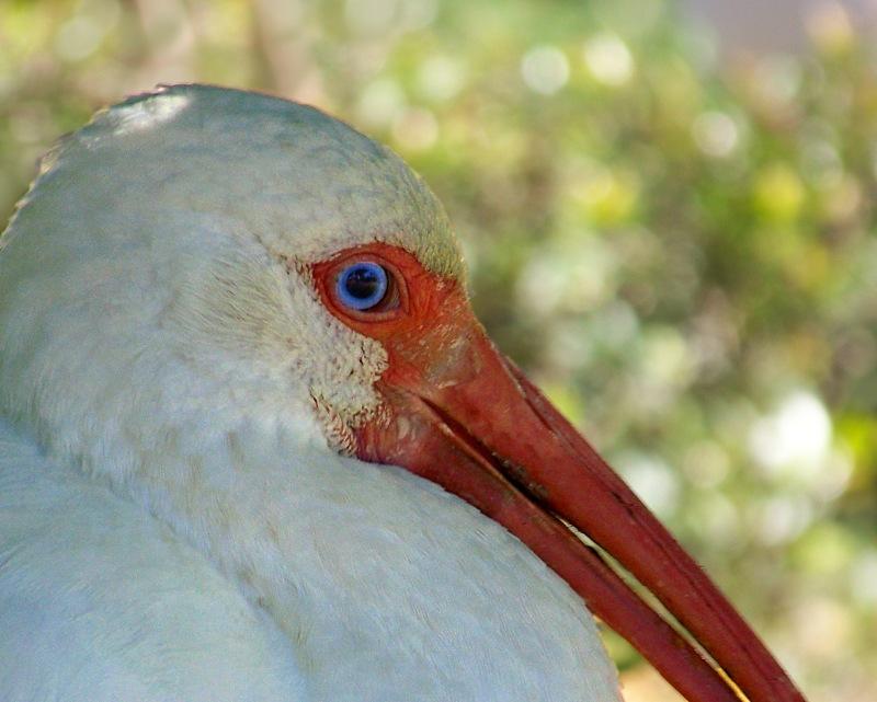 Wildlife bird photography of a close up of an ibis.