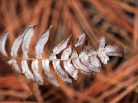 Macro nature photography of a dry leaf resting on pine needles.