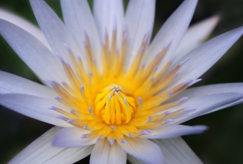 Macro floral photography of a yellow and white water lily.