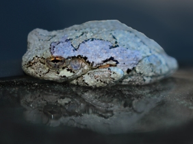 Macro nature photography of a Gray Tree Frog.