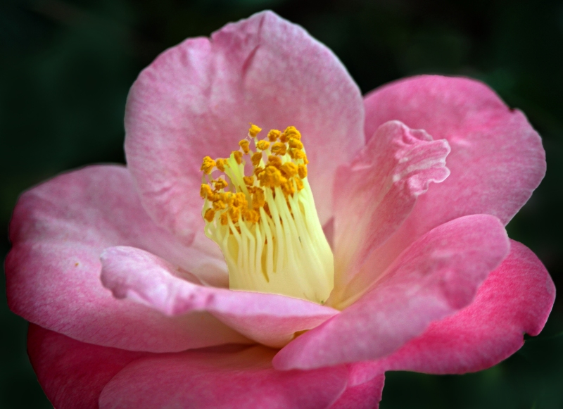 Macro floral photography of a camellia flower.