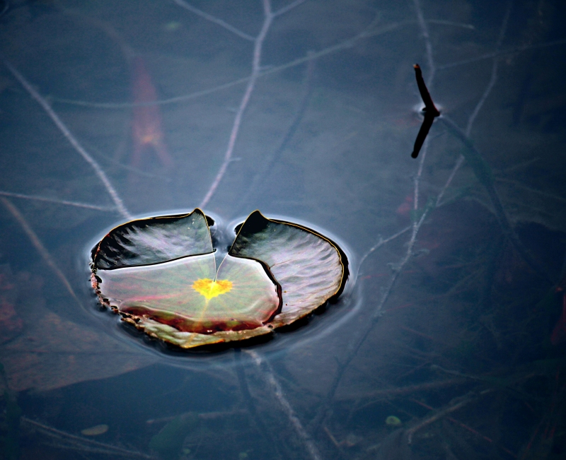 Macro nature photography of a lily pad with a golden heart.