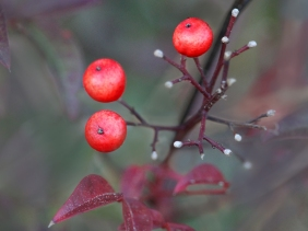 Macro nature photography of three little red berries.