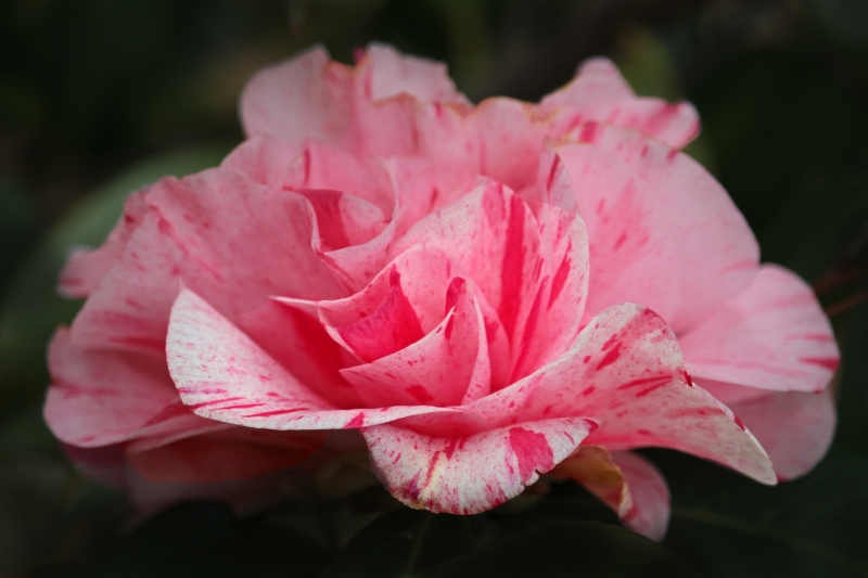 Floral photography of a pink spotted camillia blossom.