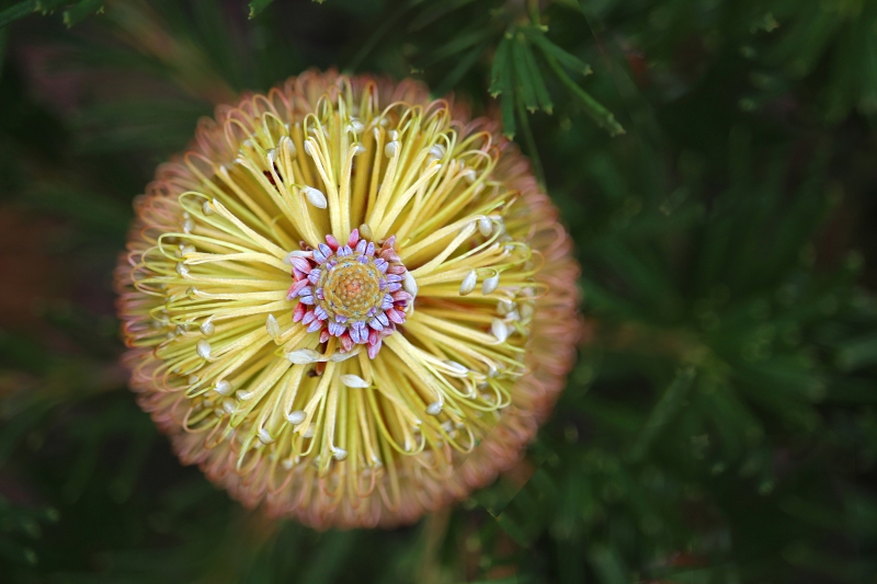 Macro floral photography of an unknown flower found in Australia.