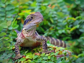Wildlife photography of an Australian Water Dragon.