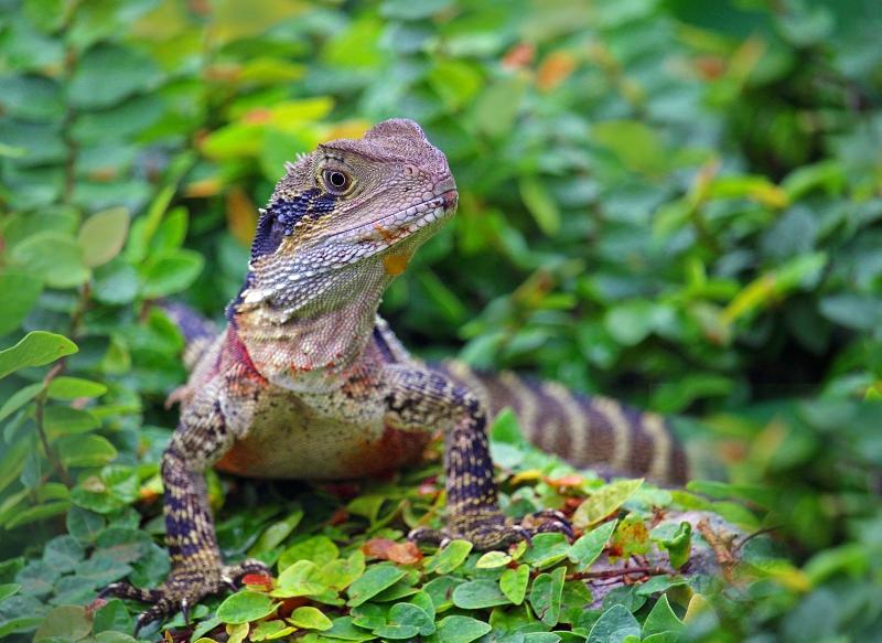Wildlife photography of an Australian Water Dragon.