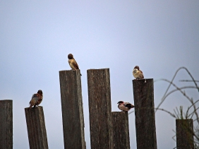 Backyard photography of birds sitting on posts.