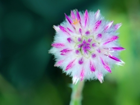 Macro floral photography of a pink and white flower.